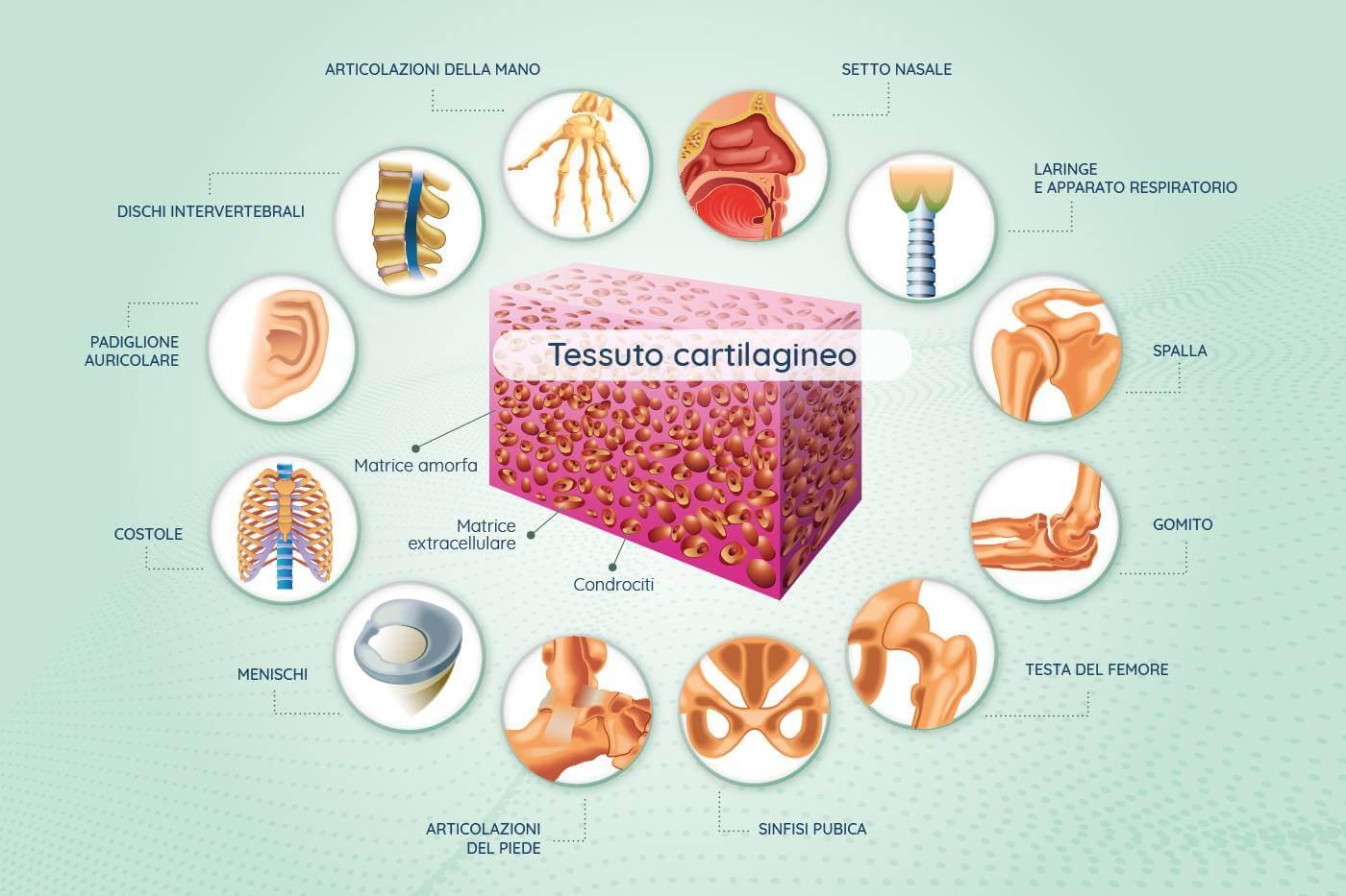 infografica dove si trova la cartilagine